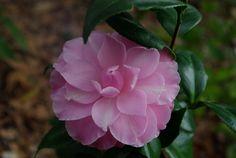 "Camellia japonica ""Miss Bessie Beville"""