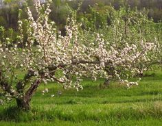 Apple blossoms. Spring in Driftless Wisconsin. Photo by Marlene Meyer of Kickapoo Orchards in Gays Mills.