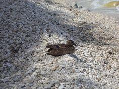 the duck on the beach