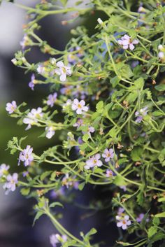 Bluetopia bacopa is a trailing annual that grows nicely in a spring container or hanging basket.   The Columbus Dispatch