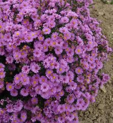 Astra krovitá ´PETER HARRISON´ Plants, Plant, Planets