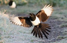 this magpie is beautiful. would be great for my tattoo idea...
