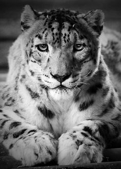 Tangra the Snow Leopard All Rights Reserved