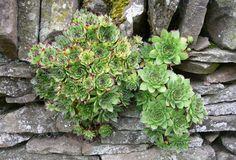 Poznáte túto zázračnu rastlinu, ktorá lieči mnohé choroby? Určite by ste si ju mali kúpiť už len kvôli…   Báječné Ženy