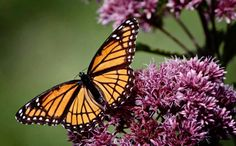 Monarch Butterflies Need Federal Protection to Keep Them From Disappearing