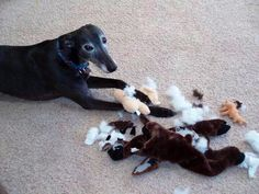 Mr. Moose vs. Greyhound....my Iggy always does this too.