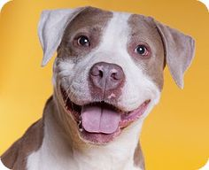 Chicago, IL - American Staffordshire Terrier/Pit Bull Terrier Mix. Meet Taffy, a…