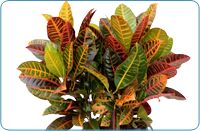 Plant Care Instructions for Crotons Planting Succulents, Planting Flowers, Flower Gardening, Gardening Tips, Container Plants, Container Gardening, Croton Plant Care, Trees To Plant, Plant Leaves