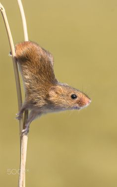 Posing Harvest Mouse - null