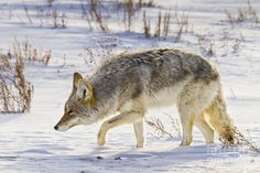 A coyote scours through the snow in search of food in Grand Teton National Park, Wyoming. Predator Hunting, Coyote Hunting, Archery Hunting, Pheasant Hunting, Wolf Photos, Deer Hunting Blinds, Kayak Fishing, Saltwater Fishing, Bowfishing