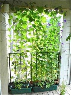 Great, inexpensive idea to create a little privacy; a few fast growing vines and some fishing line.... Easy as that! ☀️