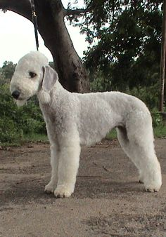 BEDLINGTON TERRIER Rare Dogs, Rare Dog Breeds, Terrier Breeds, Terrier Dogs, Small Dog Names, A Dogs Purpose, Dog Breeds Pictures, Companion Dog, Beautiful Dogs