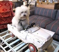 Dog Suffers Mid-Life Crisis, Buys Convertible