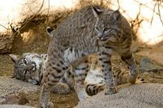 Bobcats. Usually solitary and territorial animals, females never share territory with each other. Male territories, however, tend to overlap. Territories are established with scent markings and territory sizes are extremely varied – generally 25-30 square miles for males and about five square miles for females.