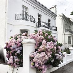 Overgrown Hydrangeas in Front of White Building