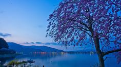 Скачать обои рассвет, сакура, Lake Kawaguchi, озеро, дерево, огни, Япония, горы, озеро Кавагути, Japan, утро, раздел пейзажи в разрешении 1920x1080