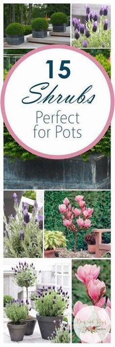 Shrubs for Container Gardening. Plants to Grow in Containers. Shrubs for Pots. Shrubs to Grow in Pots. How to Grow Shrubs. Gardening Tips and Tricks. How to Container Garden. Garden Shrubs, Garden Plants, Roses Garden, Backyard Plants, Container Plants, Container Gardening, Container Flowers, Gardening For Beginners, Gardening Tips