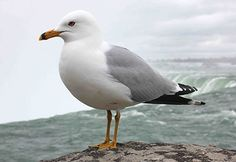 This is the type of seagull that inspired the design of my puppet.