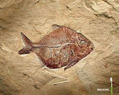 Dinosaurus fossiileja hiilen dating