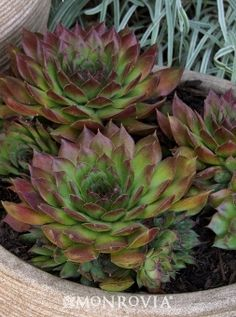 Monrovia's Black Hens and Chicks details and information. Learn more about Monrovia plants and best practices for best possible plant performance.