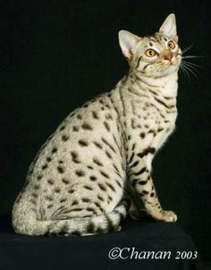Ocicat -the first breeder of Ocicats was Virginia Daly of Berkley Michigan who attempted it in Ocicat, Spotted Cat, Spotted Animals, Beautiful Cats, Animals Beautiful, Cute Animals, Beautiful Things, Rare Cats, Cats And Kittens