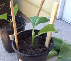 Hydrangea starts from cuttings. Put cuttings in water for an hour. Cut the top and the ends of the leaves. Pot cuttting. Put sticks taller than plant and cover with a ziploc bag making sure the bag is...
