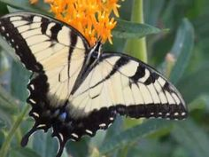 Eastern Tiger Swallowtail State Butterfly & Mascot   State Symbols USA