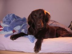 tilly...liver flatcoat that likes to jump on beds!!
