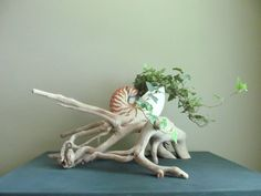 """Giant 8"""" Tiger Nautilus Shell and Driftwood Sculptural Planter, Beach Shell Planter, Driftwood Planter, Driftwood Sculpture, Driftwood Art"""