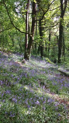 Bluebells in Ballyannan wood