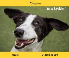 Jazzie at Dogs Trust Basildon is a worried little lady who does love being around people, but is quite fearful without her best friend Daisy by her side. Jazzie likes a fuss and cuddles and will climb on your lap for some attention, but she likes to do this herself and doesn't like being picked up very much.