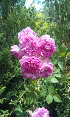 O perfume do xardín.