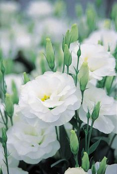White Lisianthus, beautiful annual (1) From: Bid Or Buy (2) Webpage has a convenient Pin It Button