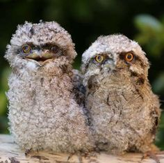 Meet Ricky and Magnet, two Tawny Frogmouth chicks who arrived at Healesville Sanctuary last week. They have been paired together to be raised by a wildlife carer until they are old enough to be released back to the wild. -- Zoos Victoria