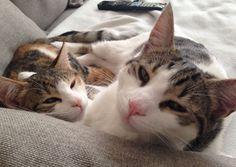 Ollie en Bella (broer en zus) Kat | Pawshake Haarlem