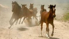 The Bureau of Land Management currently cares for about 46,000 wild horses and burros in corrals and pastures.