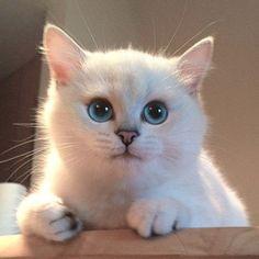 Este gato tiene los ojos azules más hermosos que hayas visto