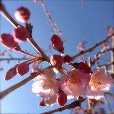 枝垂れ桜も咲き始めました。