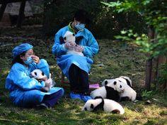 Trabajadores muestran los pandas bebés en la Base de Investigación de Panda Gigante en Chengdu, China.    Las dos personas más afortunadas del mundo