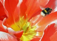 A bumblebee flies from a tulip bloom at the horticultural exhibition 'ega' (Erfurt Garden Construction Exhibition) in Erfurt, Germany, on April 13.