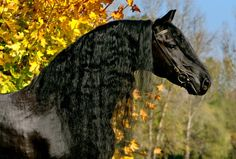 Tietse 428 Sport FRIESIAN STALLION