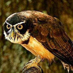 Spectacled Owl: