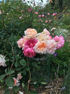 in the rose garden Wall Climbing Plants, Austin Rosen, Patina Farm, Simple Rose, David Austin Roses, Growing Roses, Garden Care, Garden Photos, Flower Farm