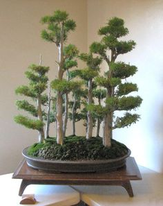 How to care for your Ficus Bonsai Bonsai Acer, Bonsai Plants, Bonsai Garden, Bonsai Trees, Juniper Bonsai, Succulents Garden, Air Plants, Cactus Plants, Ikebana