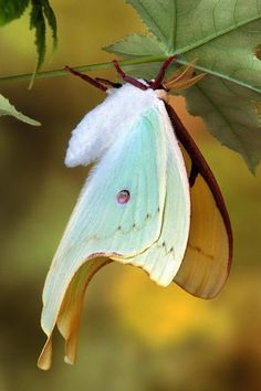 American Luna Moth ~ not a butterfly, but beautiful. Beautiful Bugs, Beautiful Butterflies, Amazing Nature, Cool Insects, Bugs And Insects, Beautiful Creatures, Animals Beautiful, Papillon Butterfly, Big Butterfly