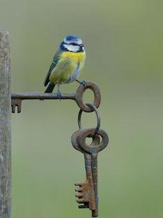 "I am Lord Blue tit, I hold the keys. / Photo ""Blue Tit on Gate Keys"" by Dean Mason Pretty Birds, Love Birds, Beautiful Birds, Vogel Gif, Old Keys, Blue Tit, Tier Fotos, Colorful Birds, Little Birds"