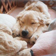 Sleepy  Kaina #goldenretriever @2525luke   とにかく可愛い朝のルークくんまだまだ子犬の彼はカミカミとモグモグとグースカピーに全力投球です #regram #わんこ #cutepuppy #sleepydog #wooftoday for beautiful    #inulog for    or Tag us