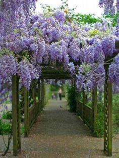 Wisteria sinensis Chinese wisteria  - 6 Fresh Seeds by centerofthewebb for $2.99