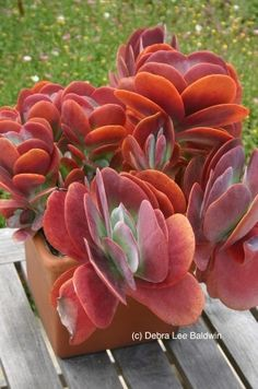 ☼ ❤ add to wish list: Kalanchoe luciae