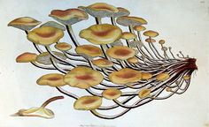 Agaricus Velutipes by University of Glasgow Library, via Flickr, Illustration by James Sowerby